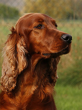 Ierse Setter Fawlty & Jones Healing Colors